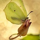 Yellow butterfly on the dried flower by JBlaminsky