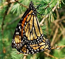 Monarchs by main1