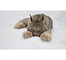 Lynx in Snow Photographic Print