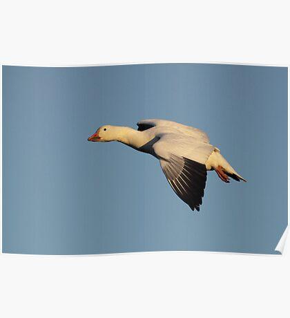 Golden Goose / Snow Goose In Flight Poster