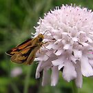 Greenish Grass-dart (Ocybadistes walkeri) - Adelaide, South Australia by Dan & Emma Monceaux