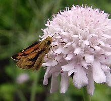 Greenish Grass-dart (Ocybadistes walkeri) - Adelaide, South Australia by Dan & Emma Monceaux