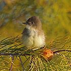 Eastern Phoebe by jozi1