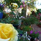 Yellow Rose And The Rainbow Colours by joycee