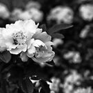 Climbing roses by CezB
