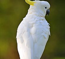 Sulphur  Crested Cockatoo In Our Back Paddock. Brisbane, Queensland, Australia by Ralph de Zilva