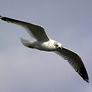 Common Gull by Trevor Kersley