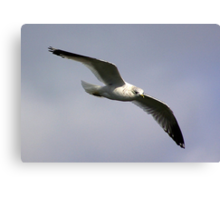 Common Gull Canvas Print