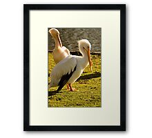 Two Pelicans In St Jame's Park. Framed Print
