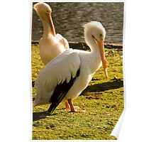 Two Pelicans In St Jame's Park. Poster