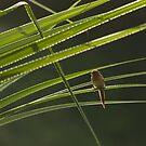 Crimson Finch (Neochmia phaeton) by Blue Gum Pictures