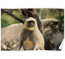 female  Hanuman Langur monkey Poster