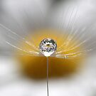 A drop full of daisies by Melinda Gaal