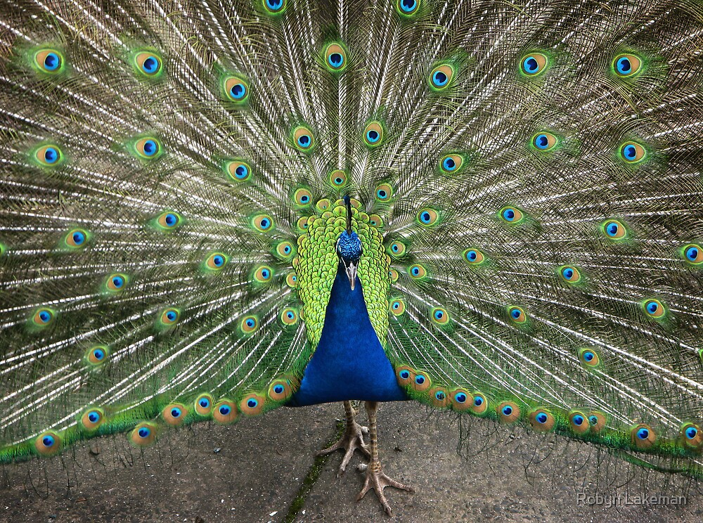 Peacock at Vicki's  by Robyn Lakeman