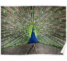 Peacock at Vicki's  Poster