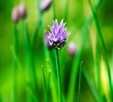 Purple Chive by Christina Rollo