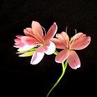 Kaffir Lily 2 by charlylou