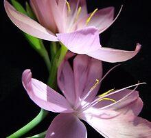 Kaffir Lily 7 by charlylou