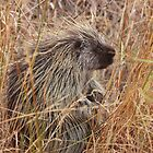 Porcupine by J. L. Gould