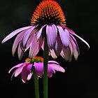 Coneflowers by Ed Bohon