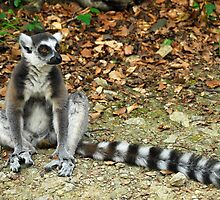 The Watcher - Lemur by vbk70