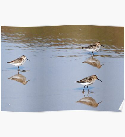 Sandpipers on New Gale Beach Pembrokeshire Poster