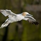 Northern Gannet in Flight - Newfoundland, Canada by Raymond J Barlow