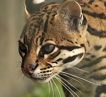 ocelot by Grandalf