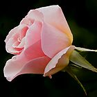 Pink Rose Bud by Emily Bagley