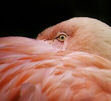 Eye of the Flamingo by lorilee