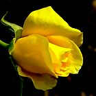Yellow Rose Bud by Emily Bagley