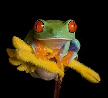 Red eyed tree frogs by Angi Nelson by Angi Wallace