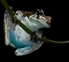 Blue bummed frog by AngiNelson