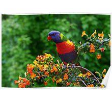 Lorikeet splendour: Exotic on Marmalade bush Poster