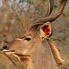 Georgous male kudu by jozi1