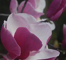 Magnolia Full Bloom by Catherine Davis