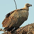 Whitebacked vulture by jozi1