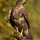 Autumn Buzzard by AngiNelson