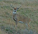 Whitetail Buck #144 by Rodney55