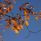 Golden Leaves by CarolM