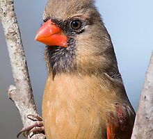 Female Northern Cardinal in Fork of Tree by Bonnie T.  Barry
