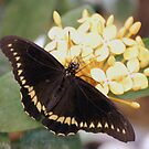 Papilio Polyxenes (Black Swallow Tail) Butterfly by Stormygirl