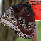 Junonia Coenia (Common Buckeye) Butterfly by Stormygirl