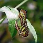 Green Butterfly by Stormygirl
