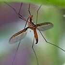 Crane Fly -  profile  take 2  by john  Lenagan