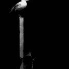 George C Gull by Alex Mokrzycki