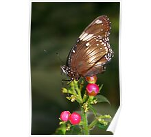 Great Eggfly - Hypolimnas bolina Poster