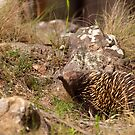 Echidna by Blue Gum Pictures