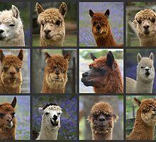 Sunny Brae Cottage Alpacas. by shortshooter-Al