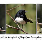 Willie Wagtail by Barb Leopold